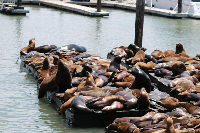 San Francisco zeeleeuwen