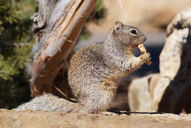 Amerika eekhoorn