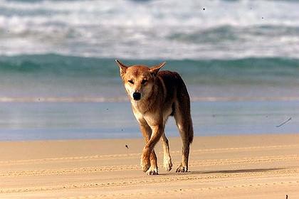 Fraser Island Queensland Australië dingo