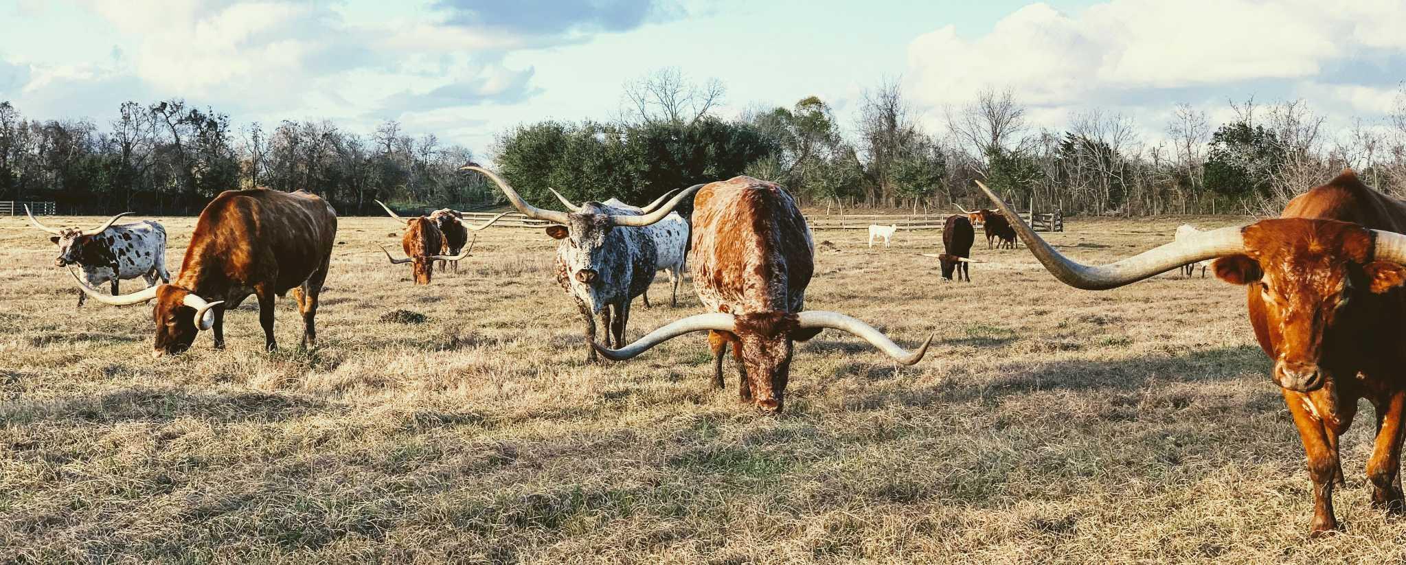 Texas longhorns Vivian Arcidiacono